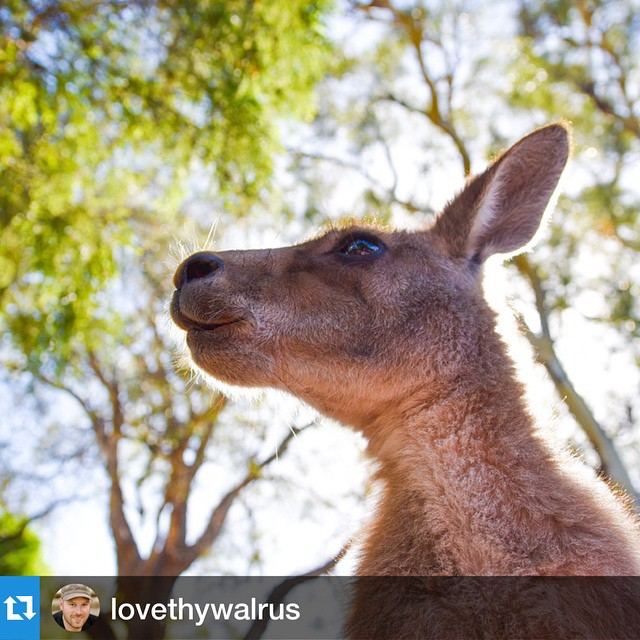 #Repost @lovethywalrus with @repostapp.・・・Can you hear the wind calling your name as the leaves rustle gently upon the warm summer breeze? How about a rustling paper bag filled with 'roo food? The latter is more likely what's going on here, but I'd like to pretend this young Tasmanian forester kangaroo was lost in a blissful moment of peace, enjoying the early morning warm sunshine on its furry body of cuteness. Either way, the roos @bonorongwildlifesanctuary in #Hobart are happy and contented, as are all the animals in this wonderful sanctuary for injured or orphaned native wildlife.