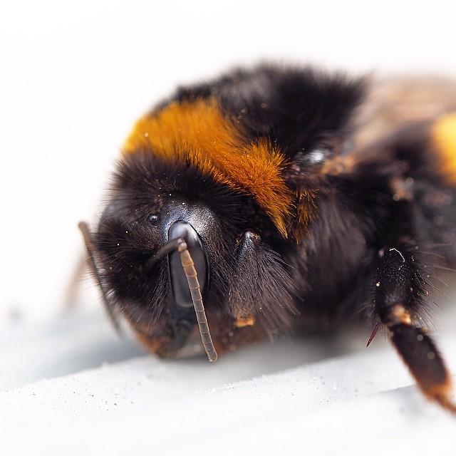 Fuzzy Wuzzy was actually a bee!